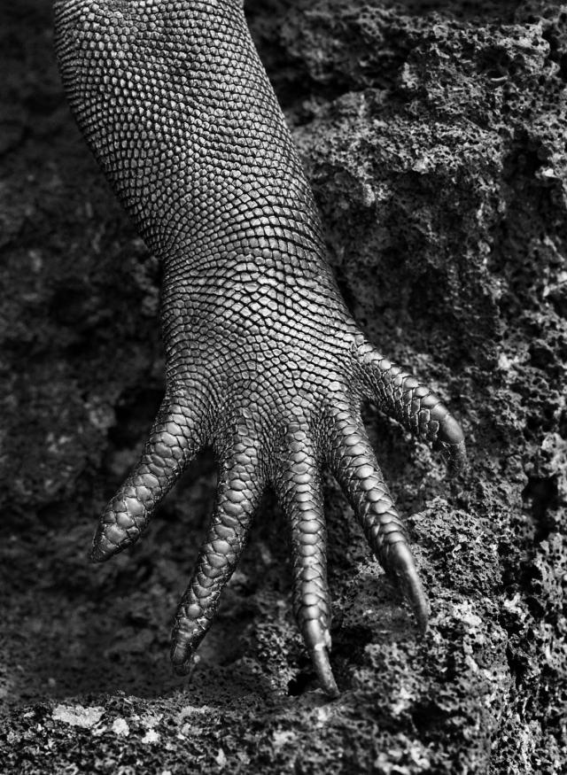 sebastiao salgado iguana